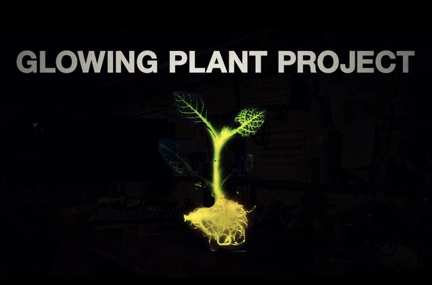 Glowing Plant Kickstarter Project: Can plants replace street lighting?